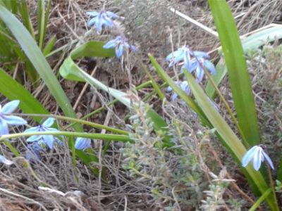 Sibirisches Blausternchen