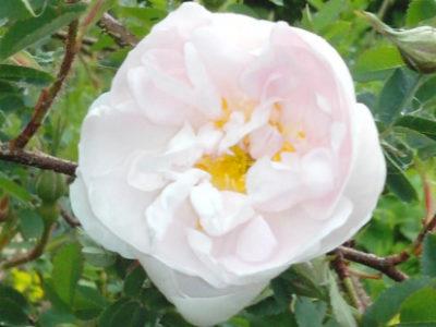 Die Rose – Königin der Blumen