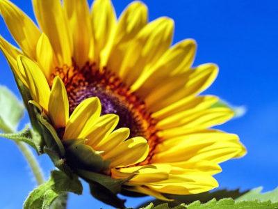 Unsere Frühjahrsaussaat: Sonnenblume