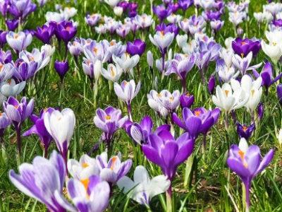 Frühjahrsblüher – Zwiebelblumen