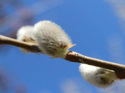 Frühjahrsblüher – Gehölze