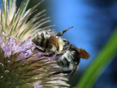 Achtung stacheliger Insektenmagnet